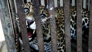 Permalink to Nasib Naas, Bocah 3 Tahun  Dimakan Macan Tutul di Taman Safari